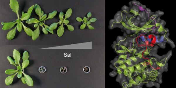 Una nueva familia de proteínas permite diseñar cultivos más resistentes a la sequía y salinidad
