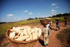 Cultivar maíz, arroz y trigo de forma más sostenible