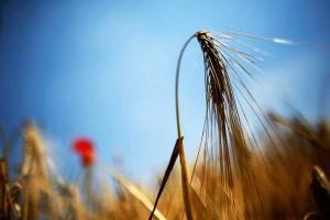campo-de-trigo-reuters_131050-L0x0