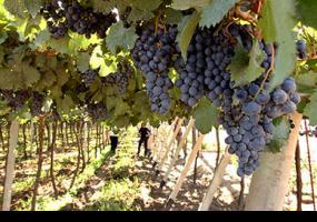 Estudian cómo mejorar el bouquet de los vinos