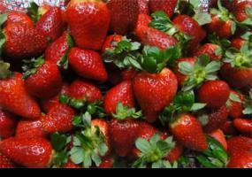 Estudian nuevos métodos para combatir hongo que afecta a frutos rojos